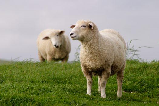 Två får på grönbete
