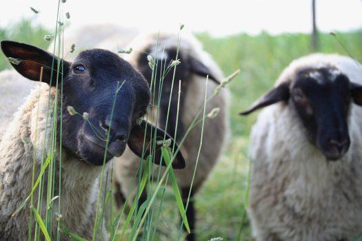 Tre betande får med svarta huvuden