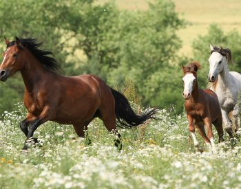 Galopperande hästar