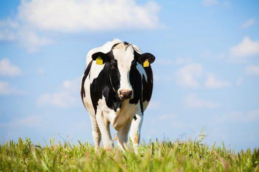 Holsteinko på öppet fält