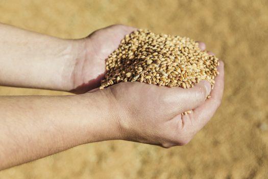 Händer som håller spannmål