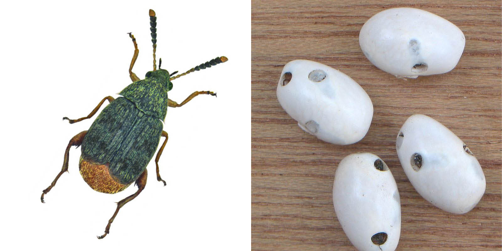 Bönbaggar